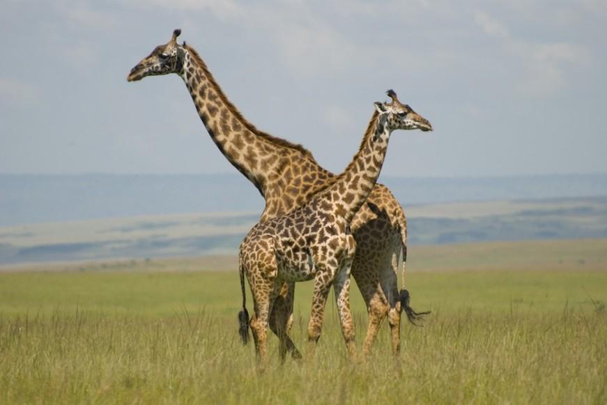 Giraffes in Masai Mara viajes familiares
