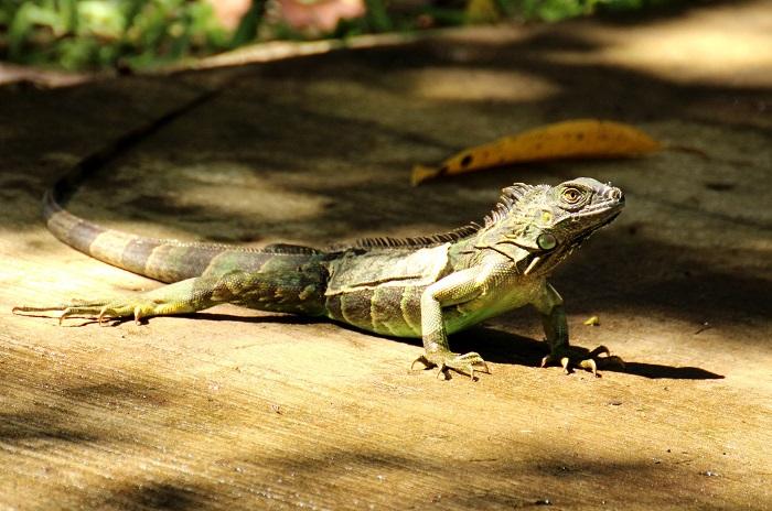 costaRica lagarto VCTF